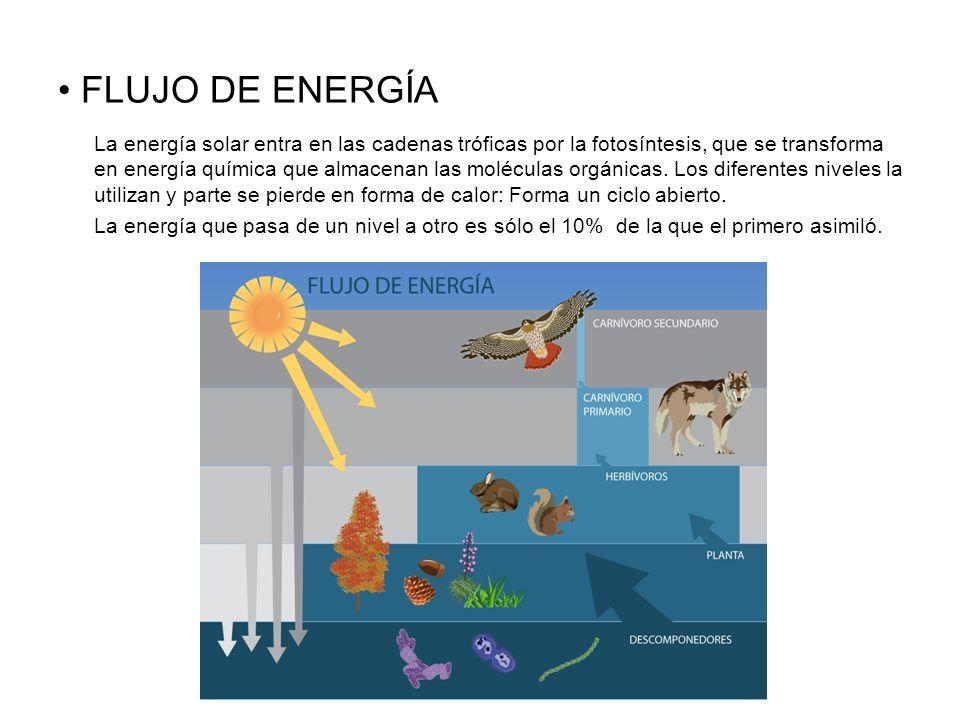 FLUJO DE ENERGÍA La energía solar entra en las cadenas tróficas por la fotosíntesis, que se transforma en energía química que almacenan las moléculas