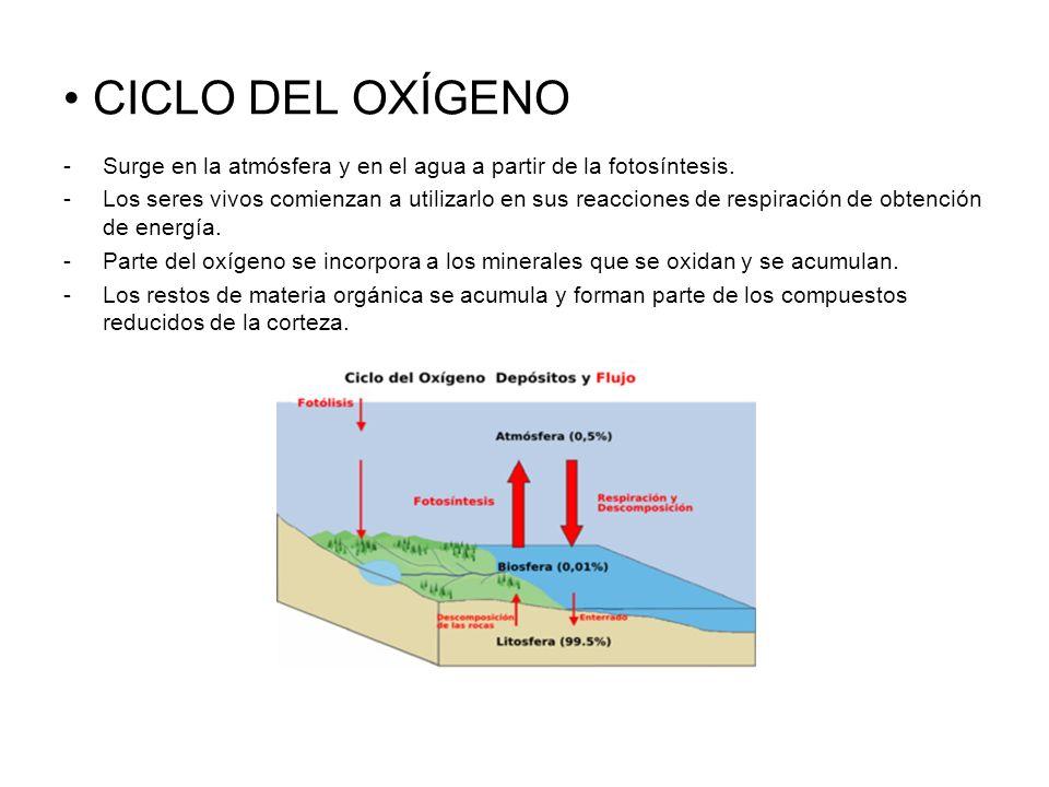 CICLO DEL OXÍGENO -Surge en la atmósfera y en el agua a partir de la fotosíntesis. -Los seres vivos comienzan a utilizarlo en sus reacciones de respir