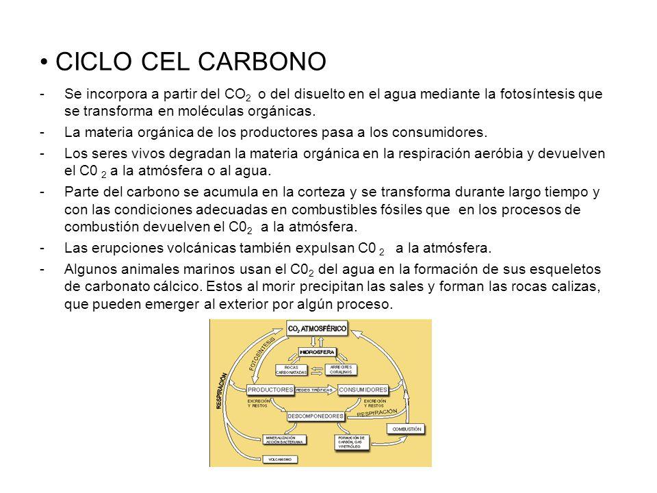 CICLO CEL CARBONO -Se incorpora a partir del CO 2 o del disuelto en el agua mediante la fotosíntesis que se transforma en moléculas orgánicas. -La mat