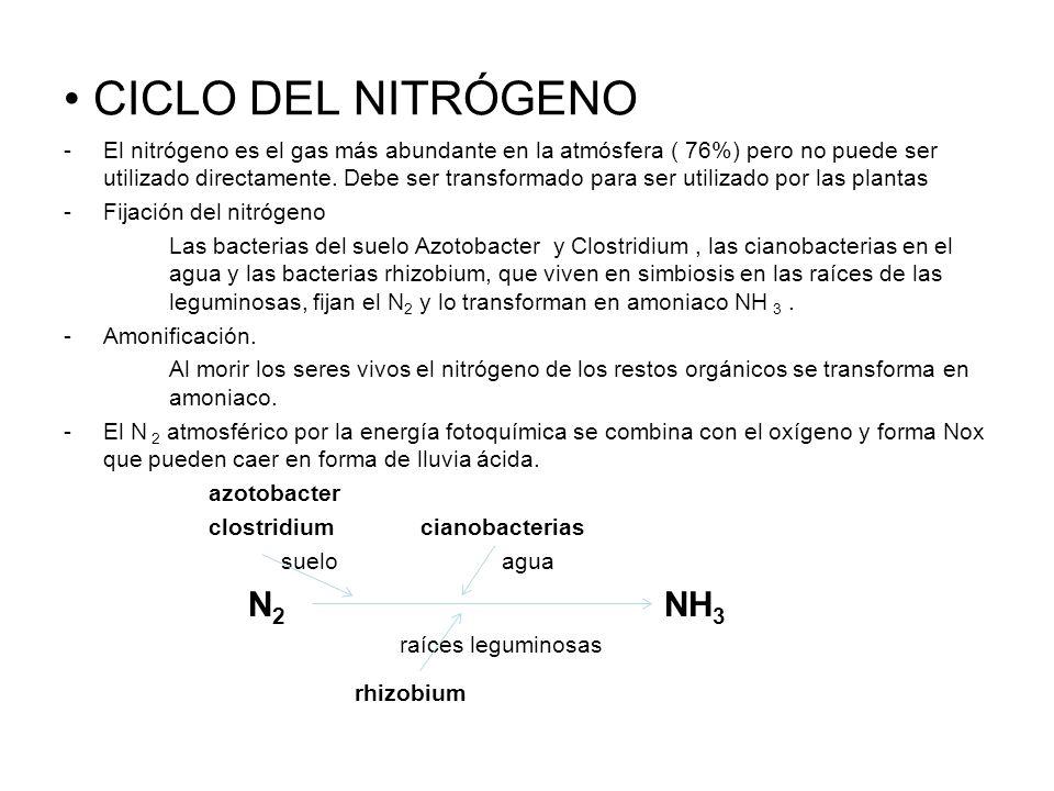 CICLO DEL NITRÓGENO -El nitrógeno es el gas más abundante en la atmósfera ( 76%) pero no puede ser utilizado directamente. Debe ser transformado para