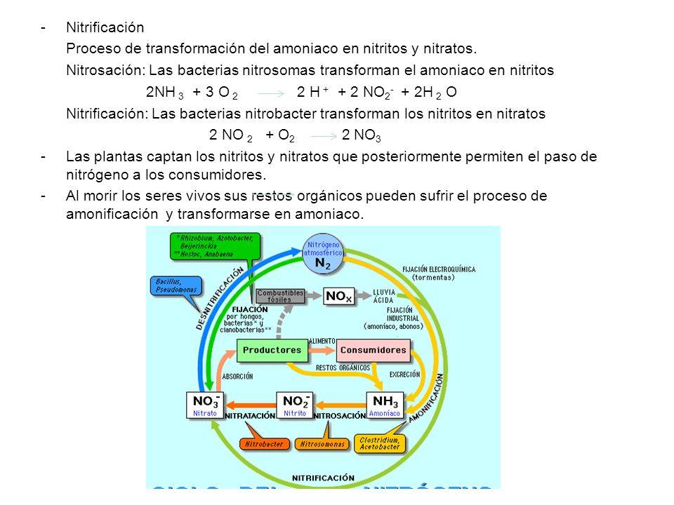 -Nitrificación Proceso de transformación del amoniaco en nitritos y nitratos. Nitrosación: Las bacterias nitrosomas transforman el amoniaco en nitrito