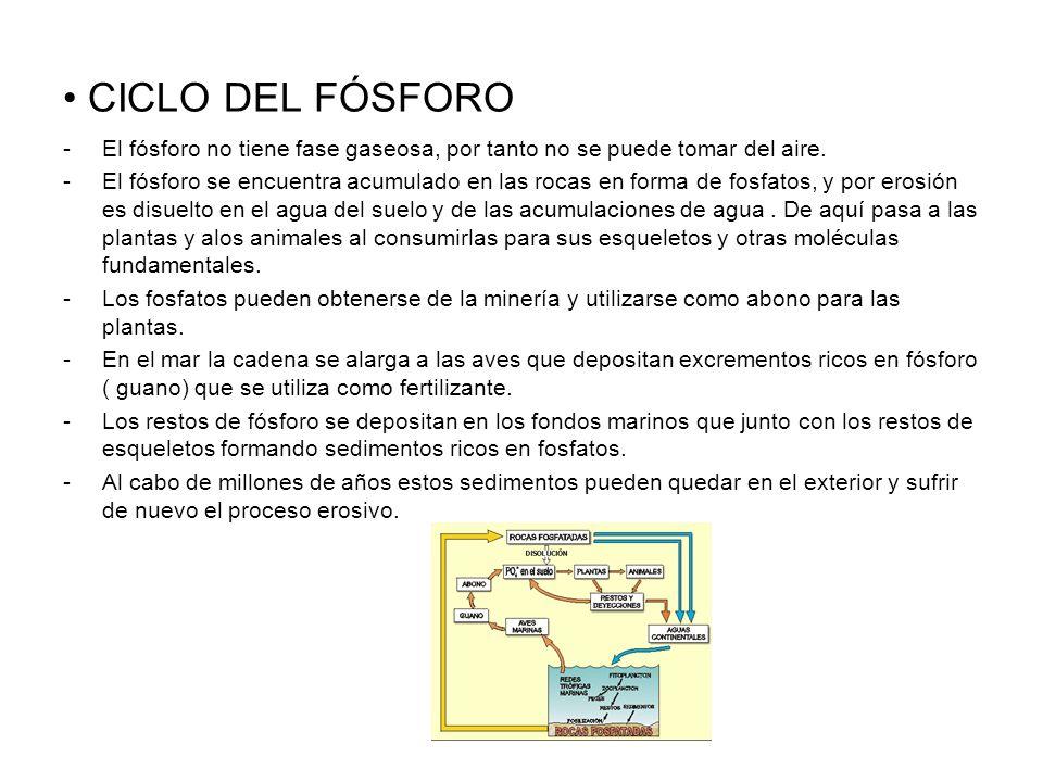 CICLO DEL FÓSFORO -El fósforo no tiene fase gaseosa, por tanto no se puede tomar del aire. -El fósforo se encuentra acumulado en las rocas en forma de