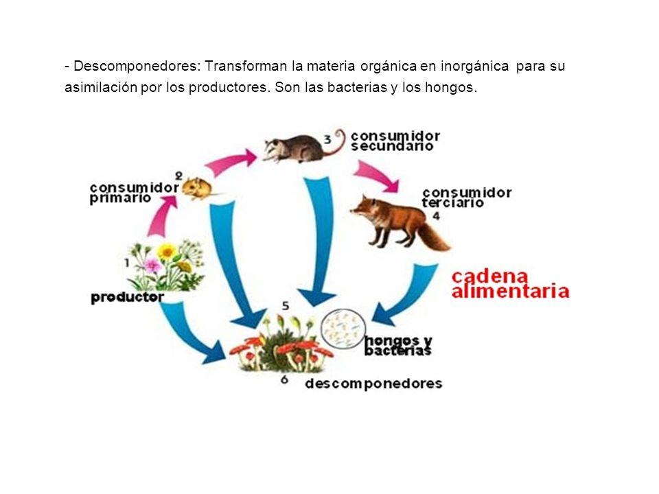 - Descomponedores: Transforman la materia orgánica en inorgánica para su asimilación por los productores. Son las bacterias y los hongos.