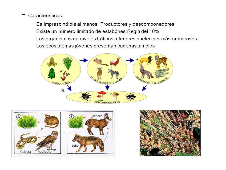 REDES TRÓFICAS -Regla del 10%: Sólo el 10% de la energía procedente de un nivel trófico es útil para los organismos del siguiente nivel.