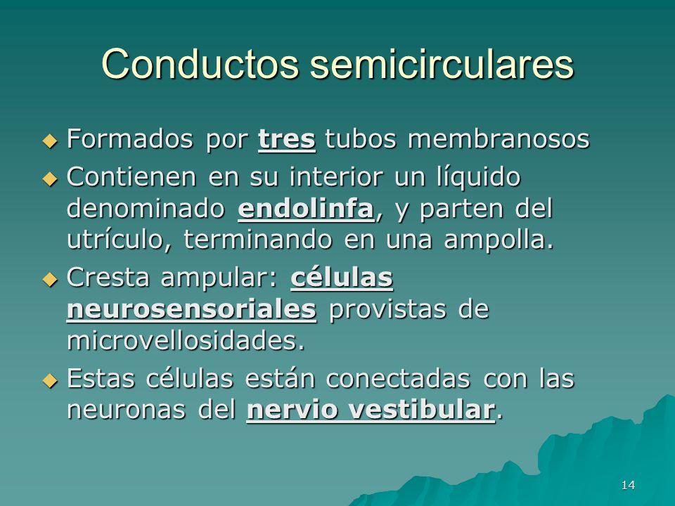 14 Conductos semicirculares Formados por tres tubos membranosos Formados por tres tubos membranosos Contienen en su interior un líquido denominado end