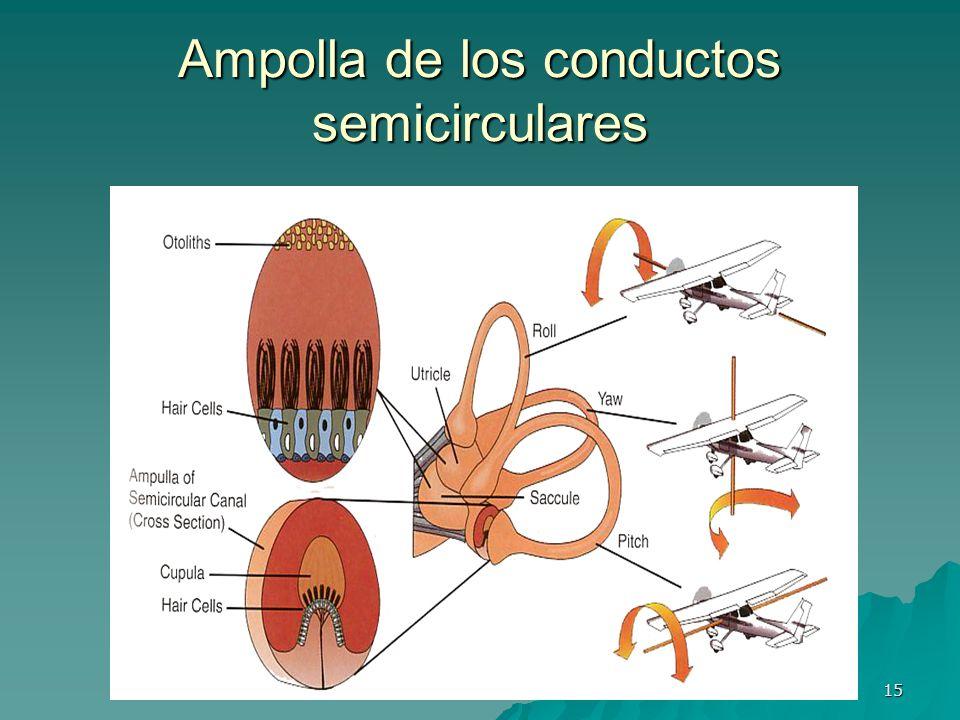 15 Ampolla de los conductos semicirculares