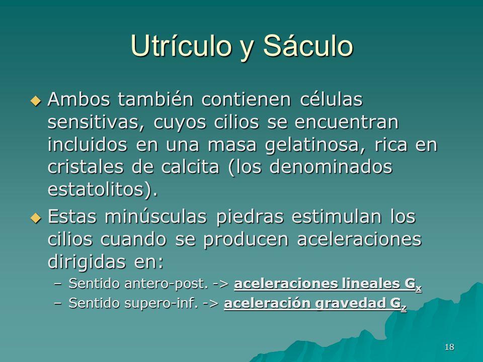 18 Utrículo y Sáculo Ambos también contienen células sensitivas, cuyos cilios se encuentran incluidos en una masa gelatinosa, rica en cristales de cal