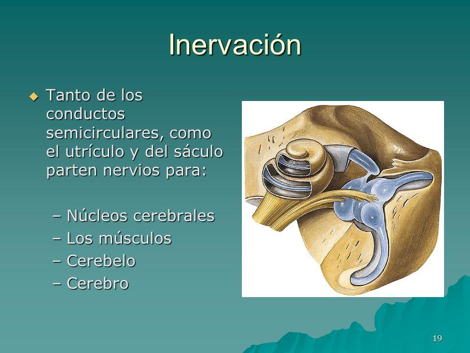19 Inervación Tanto de los conductos semicirculares, como el utrículo y del sáculo parten nervios para: Tanto de los conductos semicirculares, como el