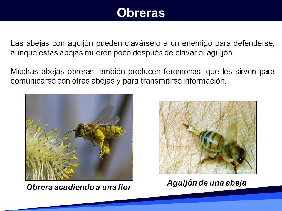 Las abejas con aguijón pueden clavárselo a un enemigo para defenderse, aunque estas abejas mueren poco después de clavar el aguijón. Muchas abejas obr