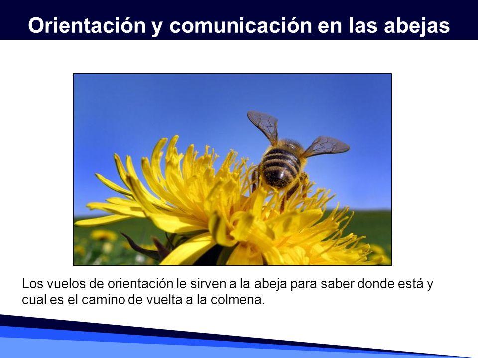 Los vuelos de orientación le sirven a la abeja para saber donde está y cual es el camino de vuelta a la colmena.