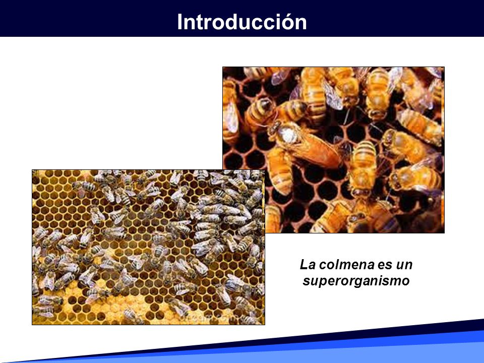 Para descubrir el significado de los bailes realizados por las abejas, Karl von Frisch hizo un experimento en el que empleó colmenas de cristal y entrenó a las abejas para buscar el alimento en determinados puntos; con su estudio comprobó que, cuando las abejas regresaban a la colmena, realizaban diferentes bailes para transmitirle la información al resto de los individuos.