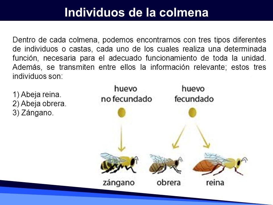 Individuos de la colmena Dentro de cada colmena, podemos encontrarnos con tres tipos diferentes de individuos o castas, cada uno de los cuales realiza
