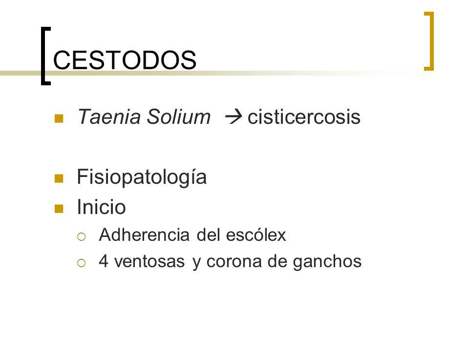 CESTODOS Taenia Solium cisticercosis Fisiopatología Inicio Adherencia del escólex 4 ventosas y corona de ganchos