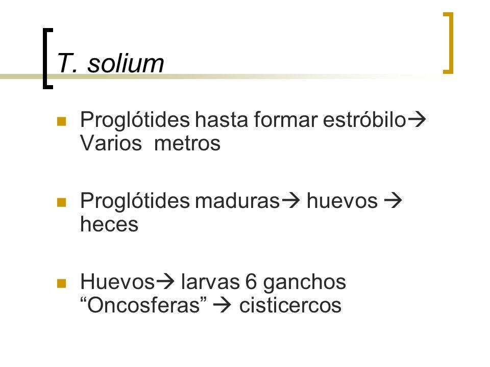 T. solium Proglótides hasta formar estróbilo Varios metros Proglótides maduras huevos heces Huevos larvas 6 ganchos Oncosferas cisticercos