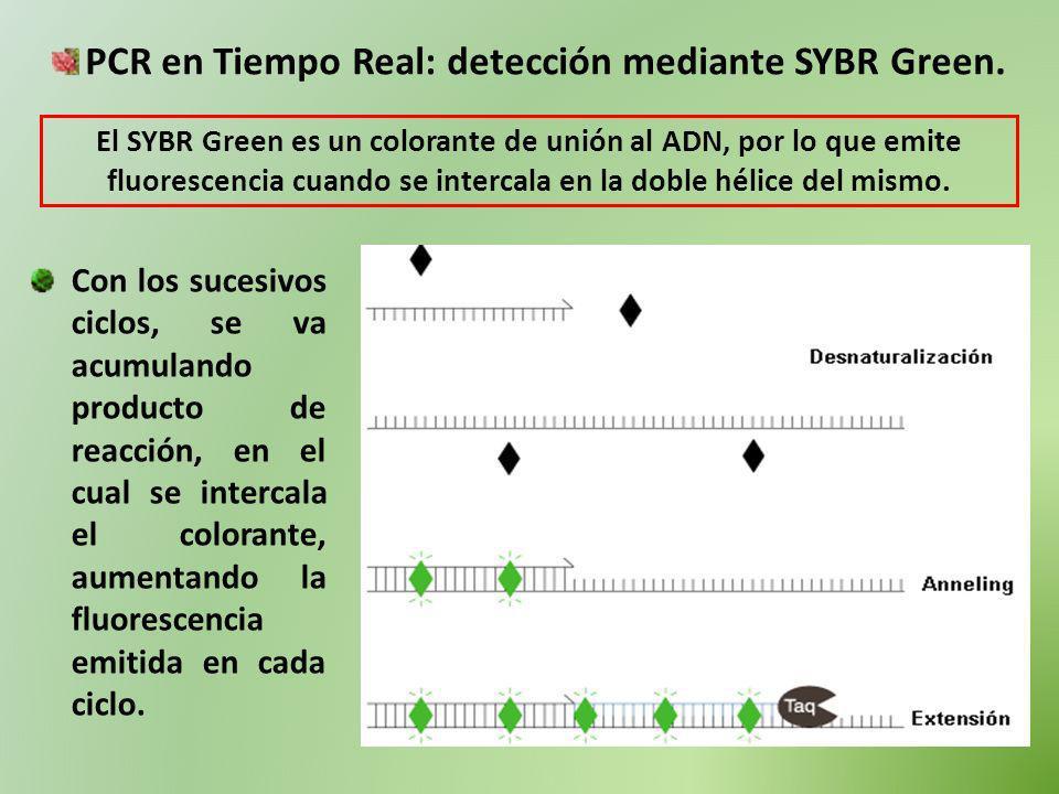 PCR en Tiempo Real: detección mediante SYBR Green. El SYBR Green es un colorante de unión al ADN, por lo que emite fluorescencia cuando se intercala e