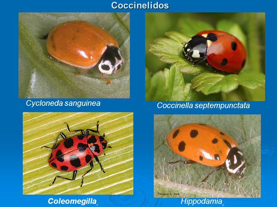 Coccinelidos Coccinelidos Coleomegilla Coccinella septempunctata Cycloneda sanguinea Hippodamia