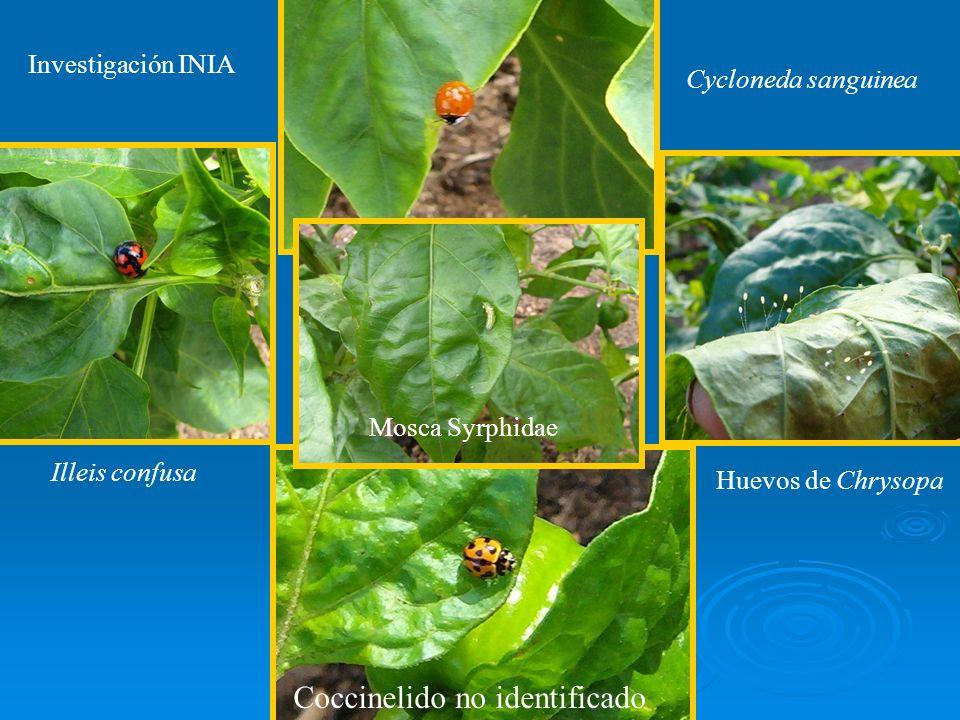 Illeis confusa Cycloneda sanguinea Huevos de Chrysopa Mosca Syrphidae Investigación INIA Coccinelido no identificado