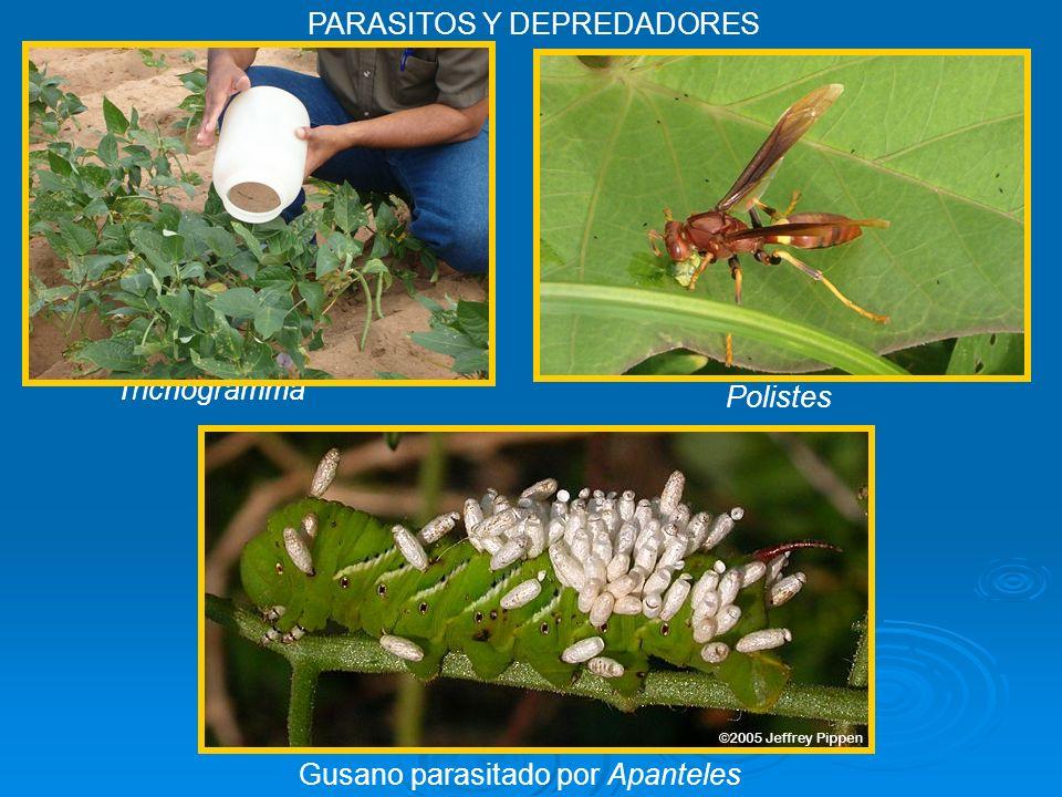 Trichogramma Gusano parasitado por Apanteles PARASITOS Y DEPREDADORES Polistes