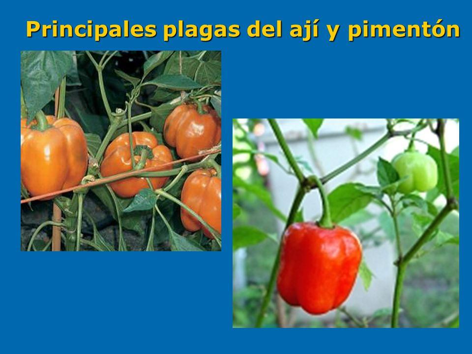 Pasador.Liriomyza sp Díptera. Díptera.