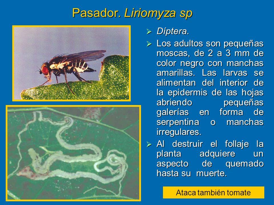 Pasador. Liriomyza sp Díptera. Díptera. Los adultos son pequeñas moscas, de 2 a 3 mm de color negro con manchas amarillas. Las larvas se alimentan del