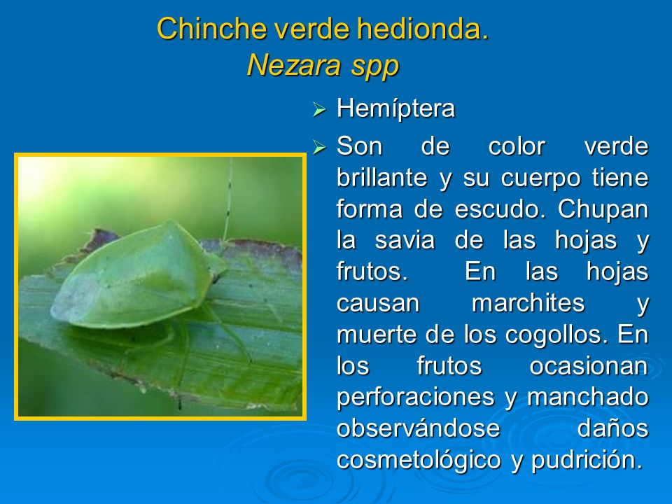 Chinche verde hedionda. Nezara spp Hemíptera Hemíptera Son de color verde brillante y su cuerpo tiene forma de escudo. Chupan la savia de las hojas y