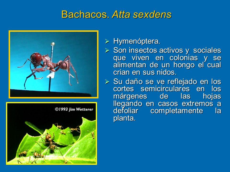 Bachacos. Atta sexdens Hymenóptera. Hymenóptera. Son insectos activos y sociales que viven en colonias y se alimentan de un hongo el cual crian en sus