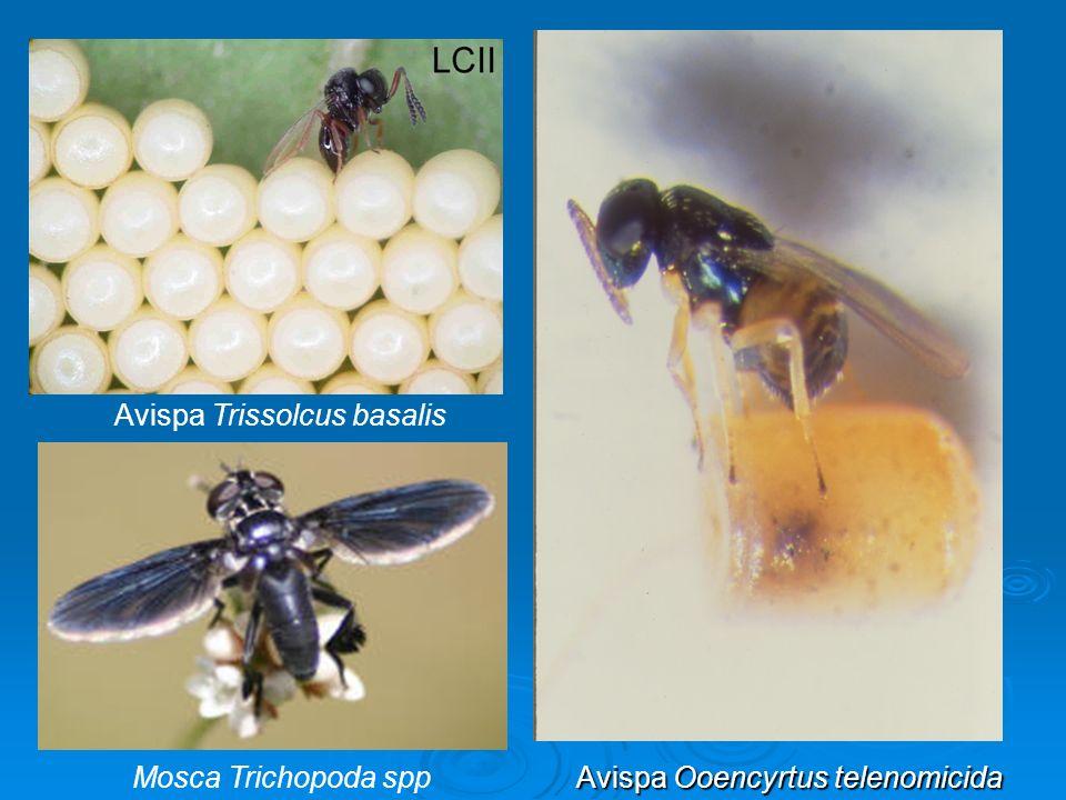 Mosca Trichopoda spp Avispa Trissolcus basalis Avispa Ooencyrtus telenomicida Avispa Ooencyrtus telenomicida