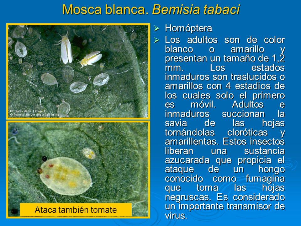 Mosca blanca. Bemisia tabaci Homóptera Homóptera Los adultos son de color blanco o amarillo y presentan un tamaño de 1,2 mm. Los estados inmaduros son