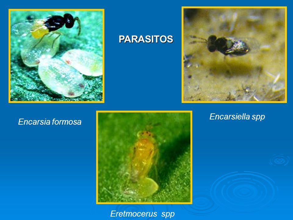 Encarsia formosa Encarsiella spp Eretmocerus spp PARASITOS PARASITOS