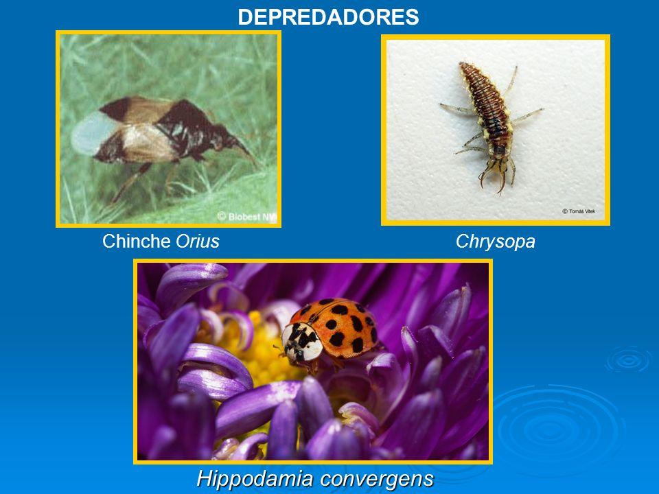 DEPREDADORES Chinche Orius Chrysopa Hippodamia convergens