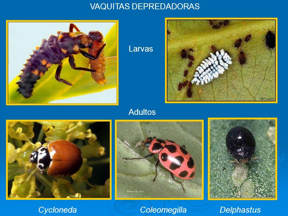 Cycloneda ColeomegillaDelphastus Larvas Adultos VAQUITAS DEPREDADORAS
