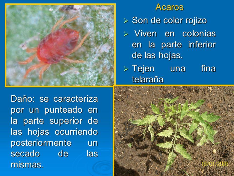Acaros Son de color rojizo Son de color rojizo Viven en colonias en la parte inferior de las hojas. Viven en colonias en la parte inferior de las hoja