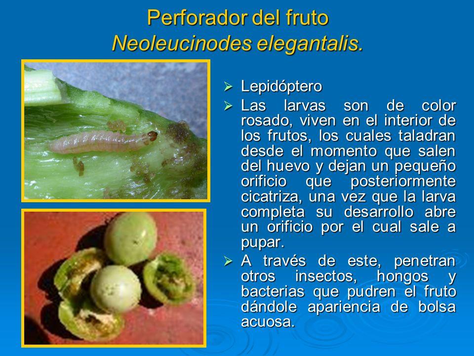 Perforador del fruto Neoleucinodes elegantalis. Lepidóptero Lepidóptero Las larvas son de color rosado, viven en el interior de los frutos, los cuales