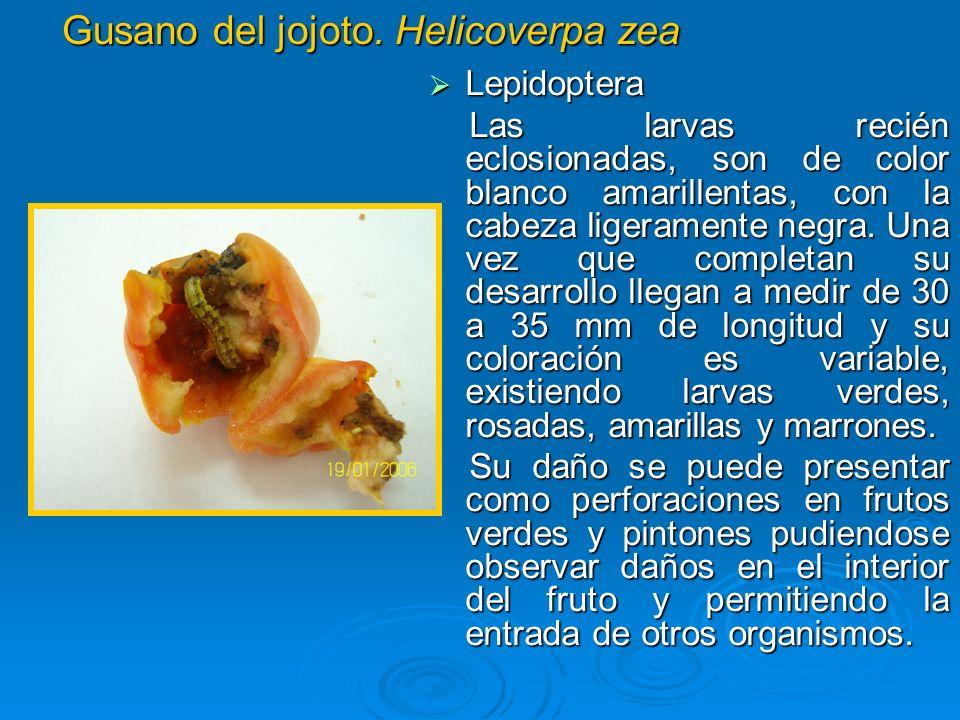 Gusano del jojoto. Helicoverpa zea Lepidoptera Lepidoptera Las larvas recién eclosionadas, son de color blanco amarillentas, con la cabeza ligeramente