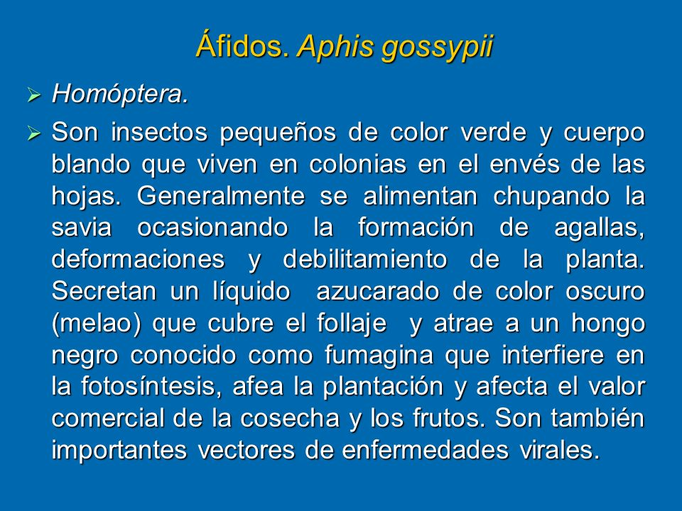 Áfidos. Aphis gossypii Homóptera. Homóptera. Son insectos pequeños de color verde y cuerpo blando que viven en colonias en el envés de las hojas. Gene