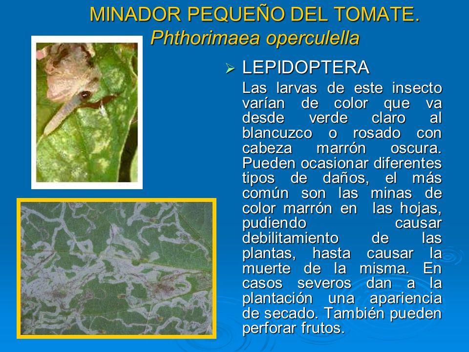 MINADOR PEQUEÑO DEL TOMATE. Phthorimaea operculella LEPIDOPTERA LEPIDOPTERA Las larvas de este insecto varían de color que va desde verde claro al bla