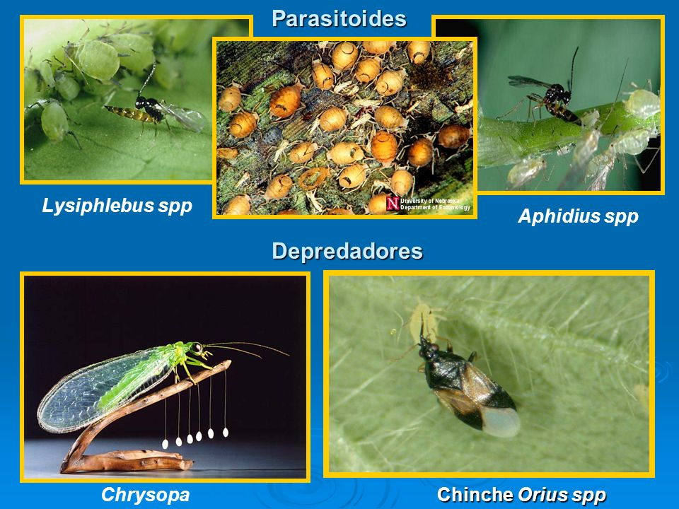 Parasitoides Aphidius spp Chrysopa Depredadores Lysiphlebus spp Chinche Orius spp