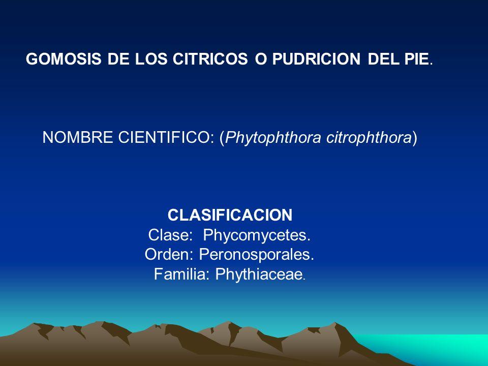 GOMOSIS DE LOS CITRICOS O PUDRICION DEL PIE. NOMBRE CIENTIFICO: (Phytophthora citrophthora) CLASIFICACION Clase: Phycomycetes. Orden: Peronosporales.