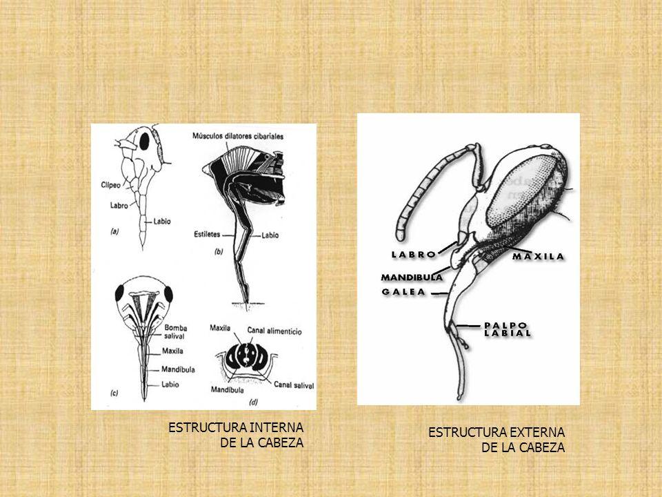 ESTRUCTURA EXTERNA DE LA CABEZA ESTRUCTURA INTERNA DE LA CABEZA
