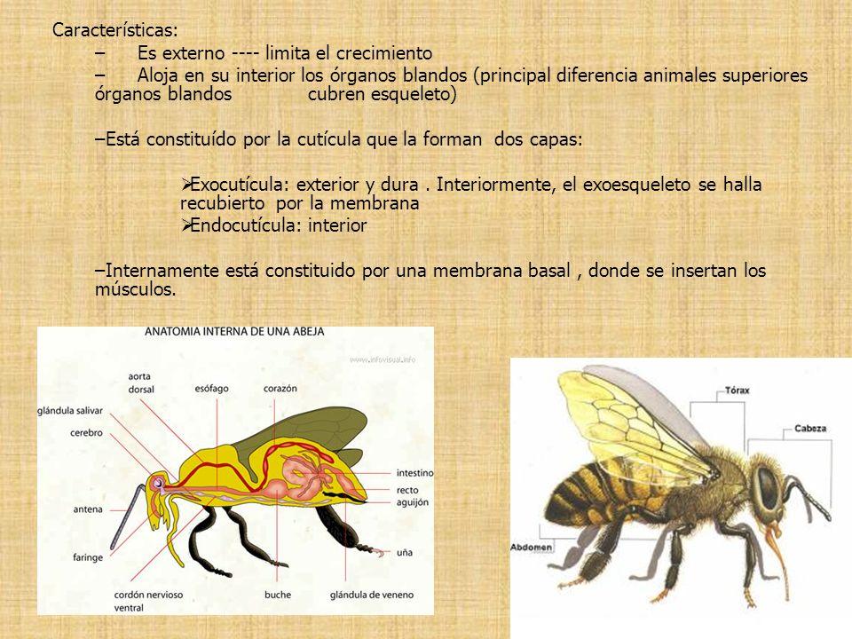 Características: –Es externo ---- limita el crecimiento –Aloja en su interior los órganos blandos (principal diferencia animales superiores órganos bl