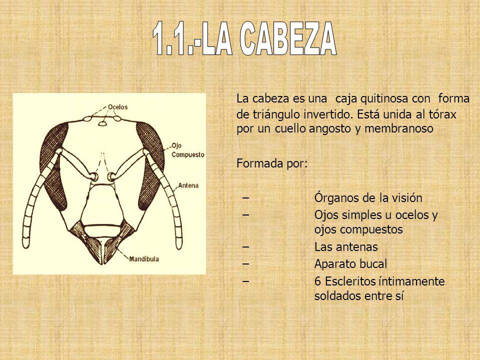 La cabeza es una caja quitinosa con forma de triángulo invertido. Está unida al tórax por un cuello angosto y membranoso Formada por: –Órganos de la v
