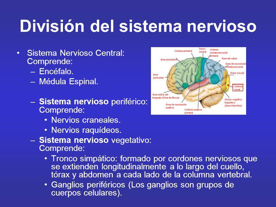 División del sistema nervioso Sistema Nervioso Central: Comprende: –Encéfalo. –Médula Espinal. –Sistema nervioso periférico: Comprende: Nervios cranea