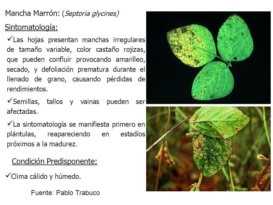 Mancha Marrón: (Septoria glycines) Las hojas presentan manchas irregulares de tamaño variable, color castaño rojizas, que pueden confluir provocando a