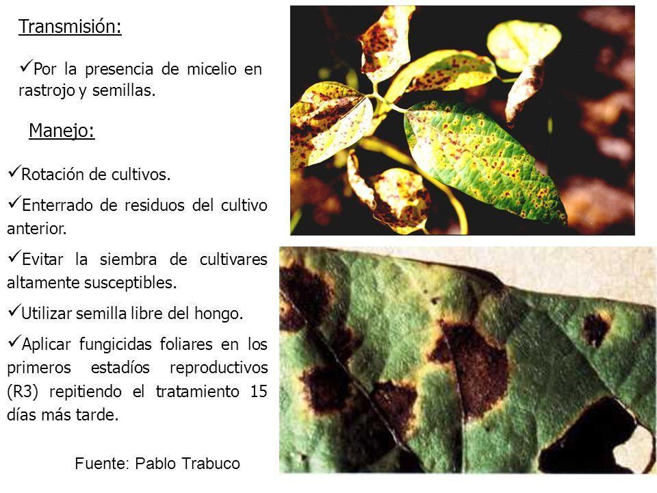 Por la presencia de micelio en rastrojo y semillas. Transmisión: Rotación de cultivos. Enterrado de residuos del cultivo anterior. Evitar la siembra d