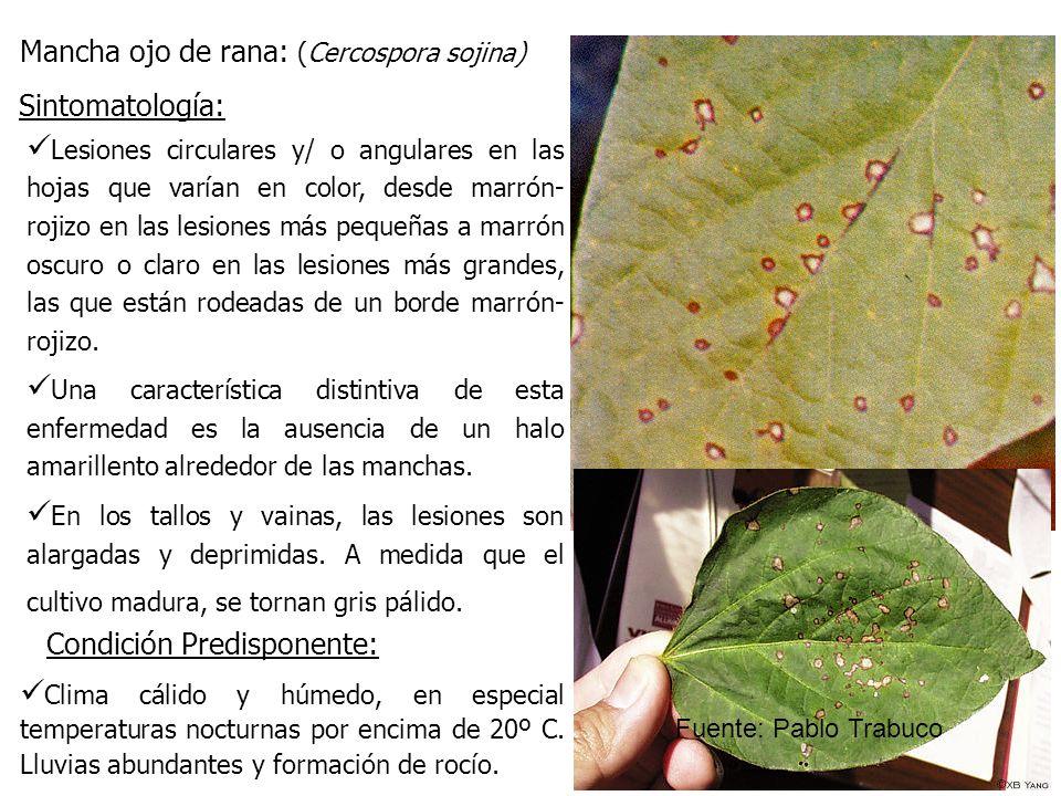 Mancha ojo de rana: (Cercospora sojina) Lesiones circulares y/ o angulares en las hojas que varían en color, desde marrón- rojizo en las lesiones más