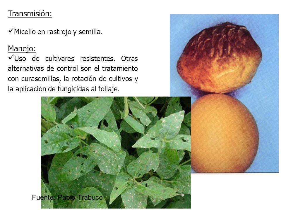 Micelio en rastrojo y semilla. Transmisión: Uso de cultivares resistentes. Otras alternativas de control son el tratamiento con curasemillas, la rotac