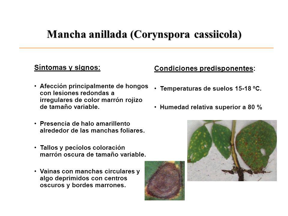 Mancha anillada (Corynspora cassiicola) Síntomas y signos: Afección principalmente de hongos con lesiones redondas a irregulares de color marrón rojiz