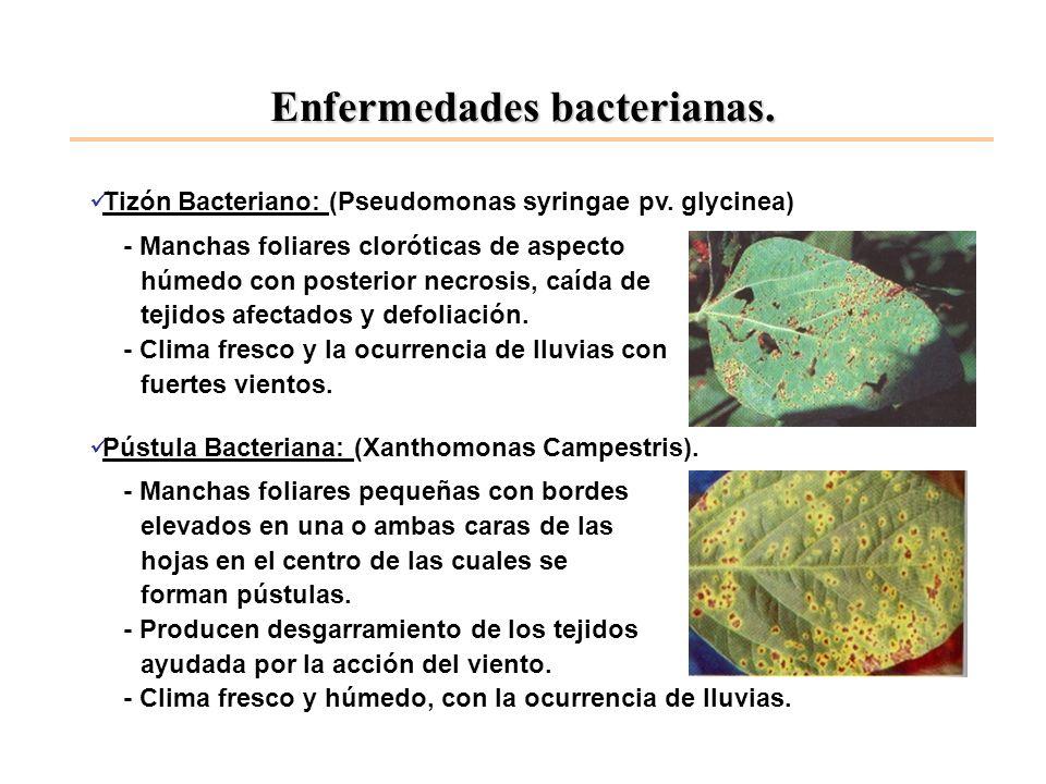 Enfermedades bacterianas. Tizón Bacteriano: (Pseudomonas syringae pv. glycinea) - Manchas foliares cloróticas de aspecto húmedo con posterior necrosis