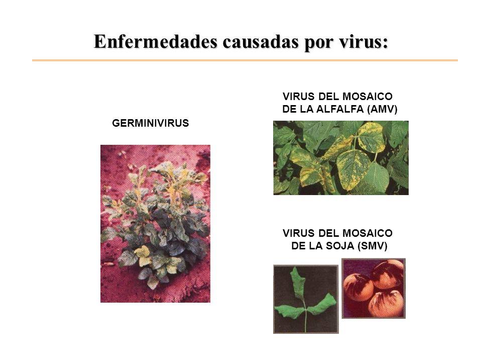 Enfermedades causadas por virus: VIRUS DEL MOSAICO DE LA SOJA (SMV) VIRUS DEL MOSAICO DE LA ALFALFA (AMV) GERMINIVIRUS