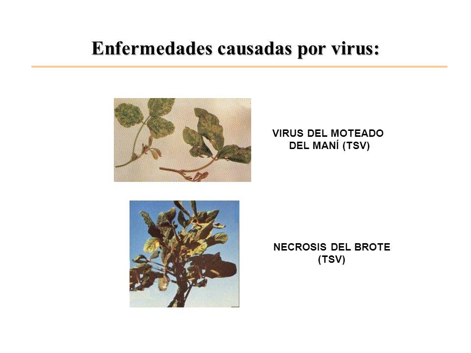 Enfermedades causadas por virus: VIRUS DEL MOTEADO DEL MANÍ (TSV) NECROSIS DEL BROTE (TSV)